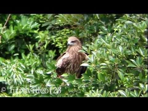 Black Kite Call (in Hong Kong)