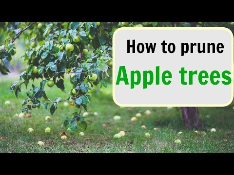 How to prune apple trees. Part I