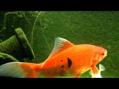 Happy Face Goldfish FYV 1080 HD