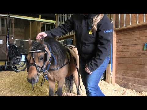 How To Harness A Miniature Horse