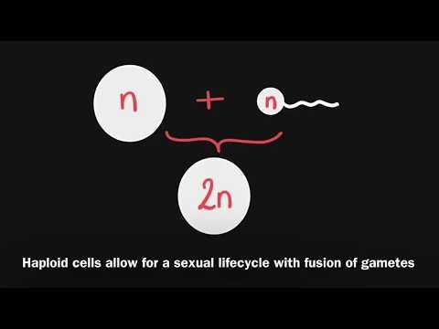 3.3 Meiosis - Diploid Versus Haploid