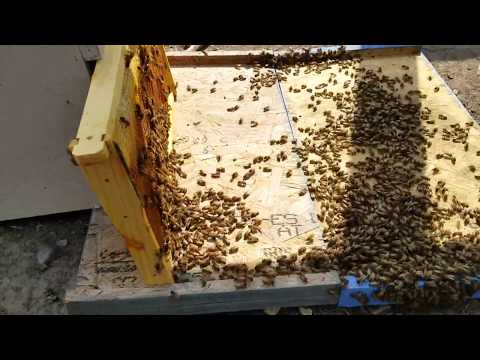 How do chickens help honey bees get rid of small hive beetles? watch and see