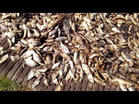 Dried Fish। How to Make Dried Fish। Dry Fish