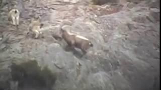 Ibex Trophy Hunting In Gilgit-Baltistan Pakistan