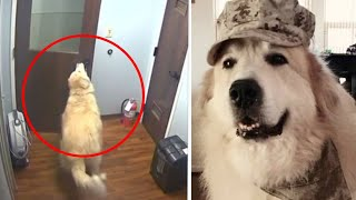 Big doggies: Hero golden retriever saves owner; Smart dog escapes kennel - Compilation