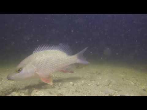Snapper and baitfish at night