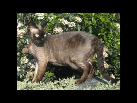 Meesha the Devon Rex - New Zealands Next Top Cat Model 2010 - Finals vidio clip