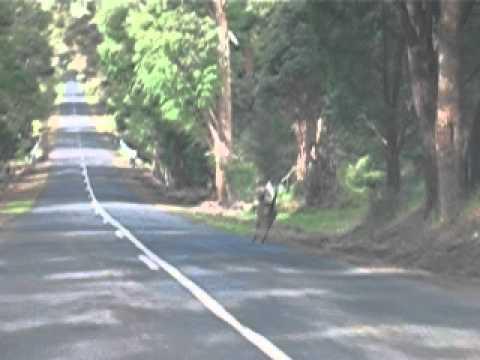 Kangourou perth Australia
