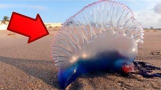 """#x202b;خطير جدا : اذا رأيت هذا الحيوان على الشاطئ """"اهرب فورا وكانك لم تراه""""#x202c;lrm;"""