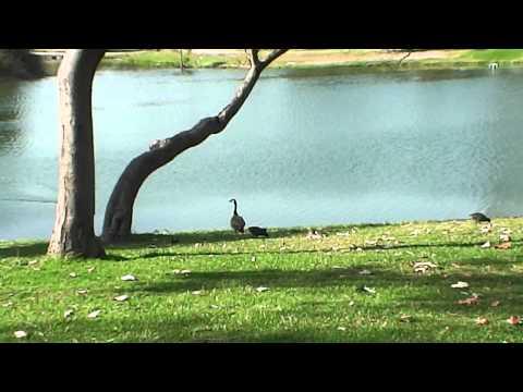 Canada Goose calls for his mate