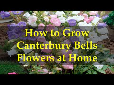 How to Grow Canterbury Bells Flowers at Home