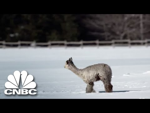 The Cost Of Raising Alpacas | Blue Collar Millionaires