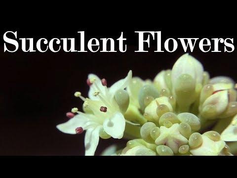 Succulent Flowers & Propagation Update