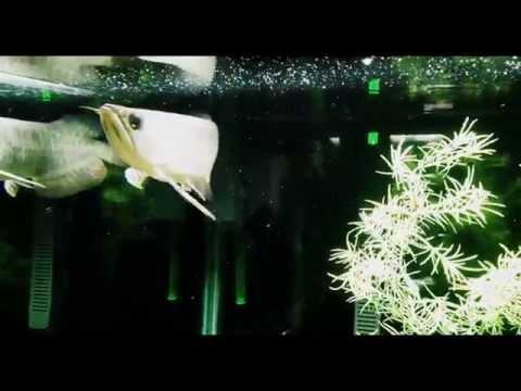 Asian Arowana vs. Green Frog