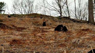 Black Bear Roughhousing || ViralHog