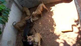 tight bred redboy/ jocko/ bolio/ tombstone puppy
