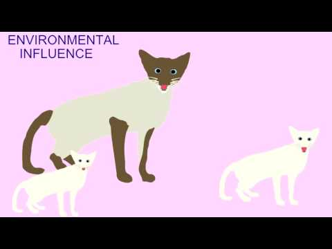 INHERITANCE: ENVIRONMENTAL EFFECTS IN SIAMESE CATS