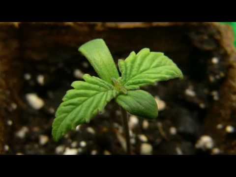 First Grow, Indoor, Cream Caramel Part 1