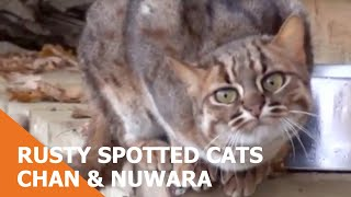 BCS - Rusty Spotted Cats Chan & Nuwara