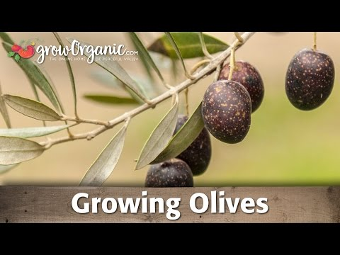 Growing Organic Olives