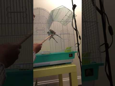 STEP 1 OF FINGER TRAINING- How to teach your Budgerigars how to step up on a PERCH