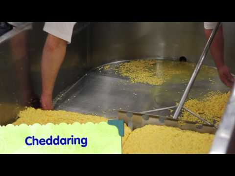 Making Wisconsin Cheddar Cheese Curds (YBB Edition)