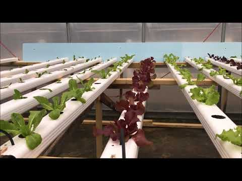 Moving Seedlings Into The Hydroponic System Troughs