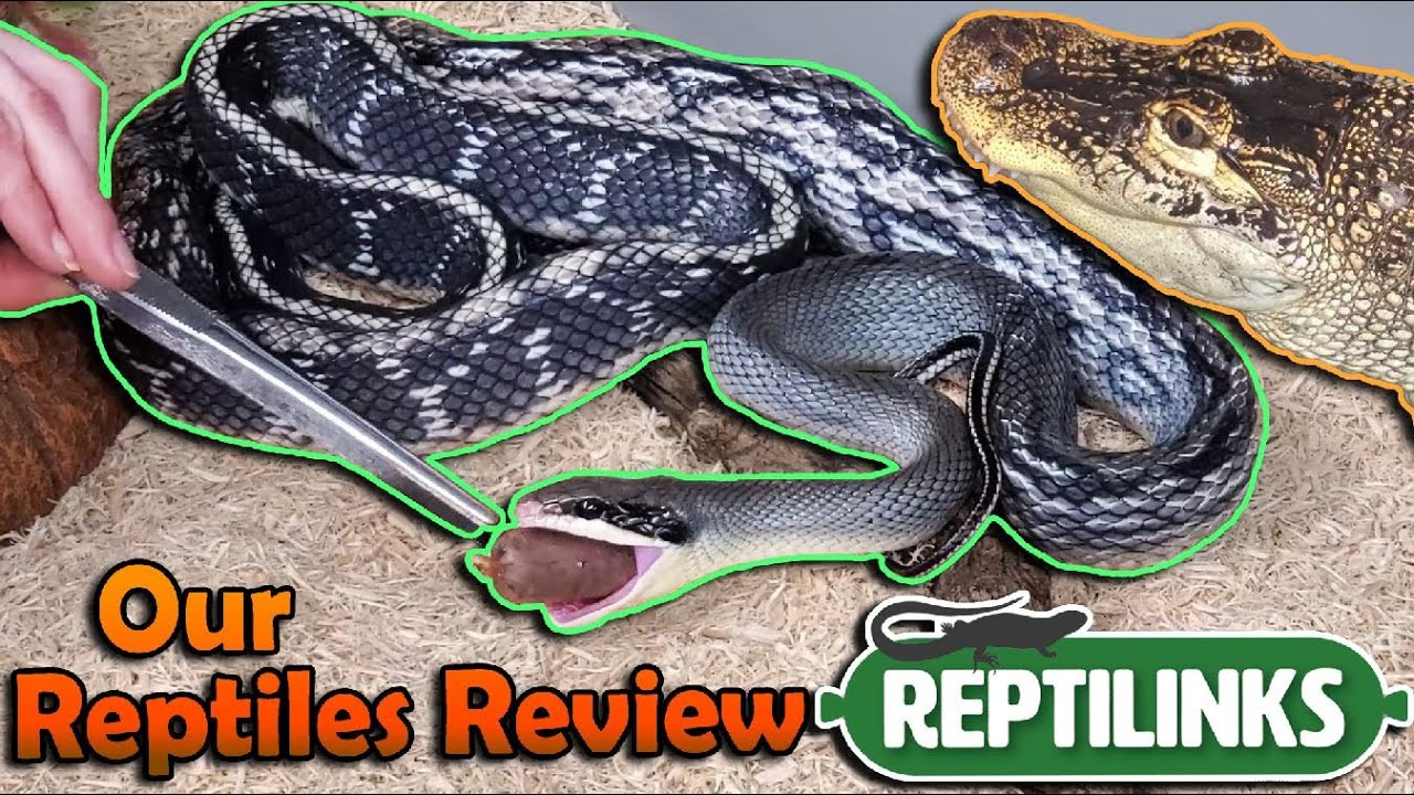Our Reptiles Try Reptilinks for the First Time!
