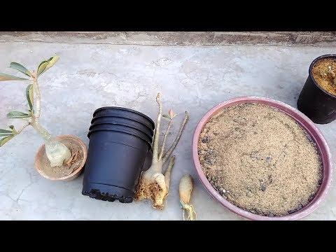 How To Increase Adenium Growth After Winter || Care of Adenium Plant After Dormancy