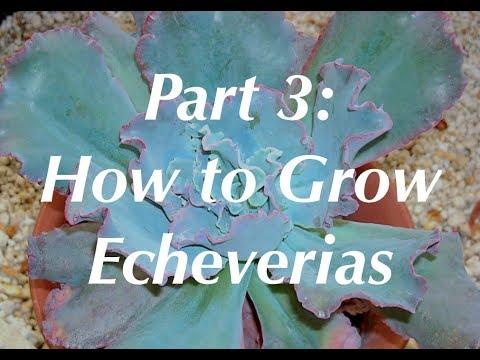 Dick Wright on Echeverias 3: How to Grow