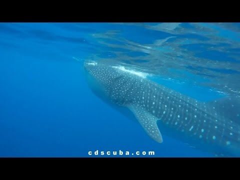 Cozumel, Mexico Scuba Diving & Whale Sharks with Caribbean Dreamin Scuba June 2016