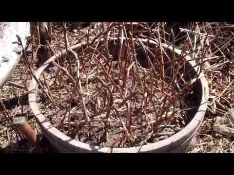 How to Propagate & Grow Grape Vines from Cuttings - The Easy Method Tutorial