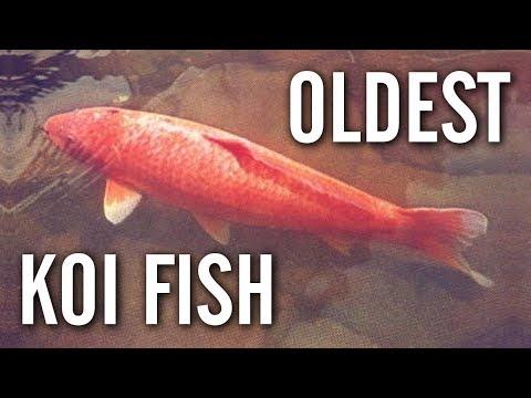The World's Oldest Koi - Hanako (226 Years Old)