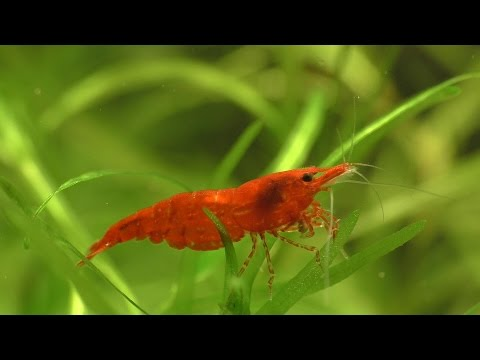 Cherry Shrimp - How To Breed, What To Feed, And Everything You Need.