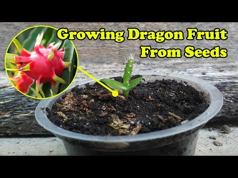 Growing Dragon Fruit Pitaya From Seeds by Grafting Examples