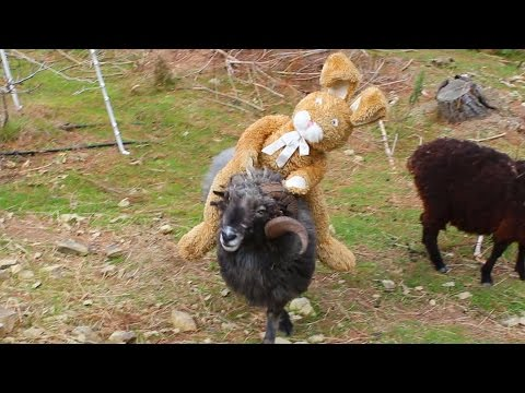 Angry Ram takes on the Easter bunny