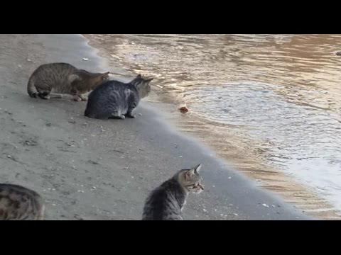 FisherCat - Cat catches and eat fishes from the sea