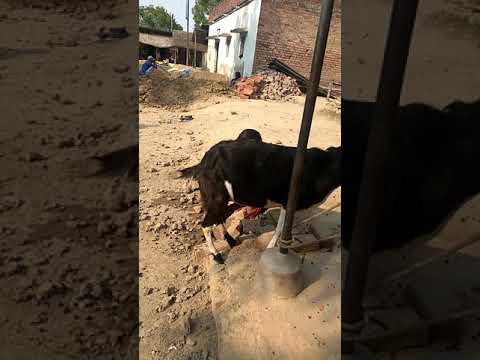 Haw to get goat milk in village