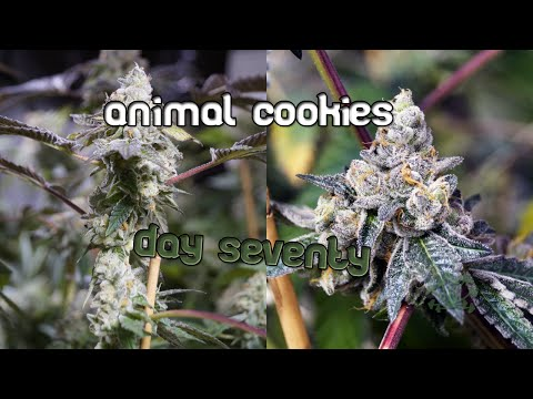 Animal Cookies - day 70 - quick look before harvest