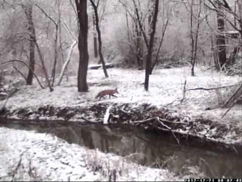 Red Fox Dec 21st 2012