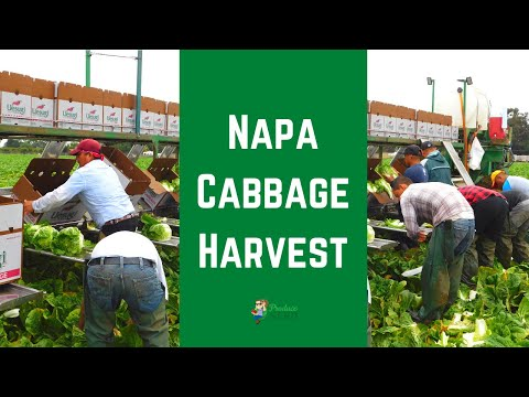 How Napa Cabbage is Harvested