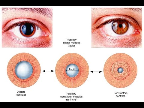 Autonomic control of pupillary size and accommodation - sphincter, radial, ciliary muscle