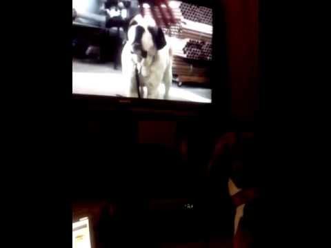 My Beagle Puppy Barking At TV
