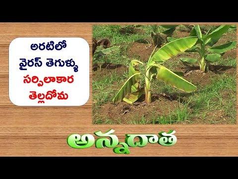 Bunchy Top Virus & Rugos White Fly in Banana || ETV Annadata