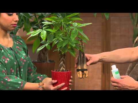 Roberta S Braided Money Tree With Hawaiian Magic With Gabrielle Kerr