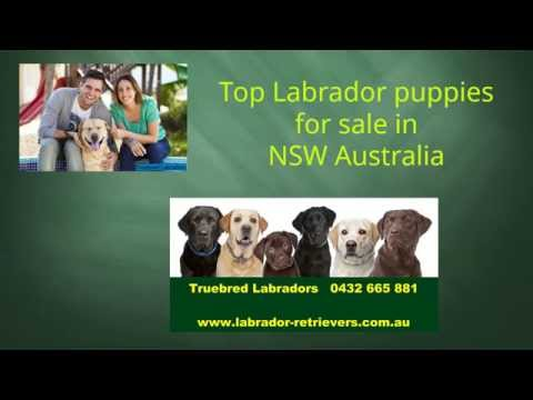 Labrador puppies for sale in NSW Australia by registered breeder