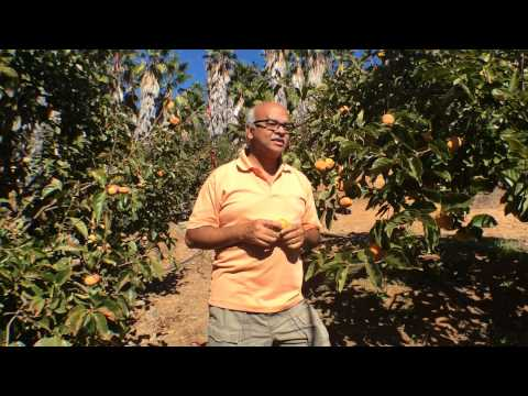 Harvest of the Month - Fuyu Persimmons