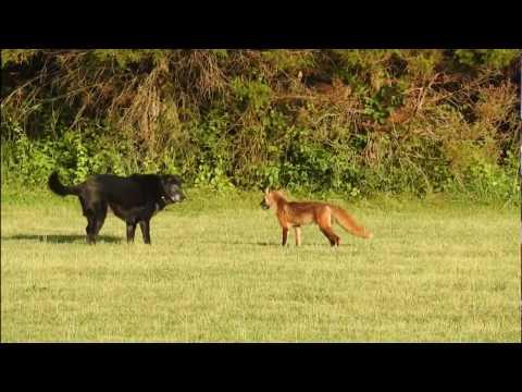 Fox vs Dog. Fox attack Dog. Real fight