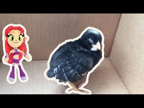 Teen Titans Go! Starfire's Baby Chick