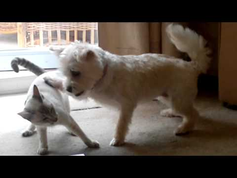 Dog fights with siamese cat